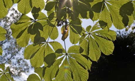 Sunlight shines through chestnut tree leaves. Quantum biology can explain why photosynthesis in plants is so efficient.