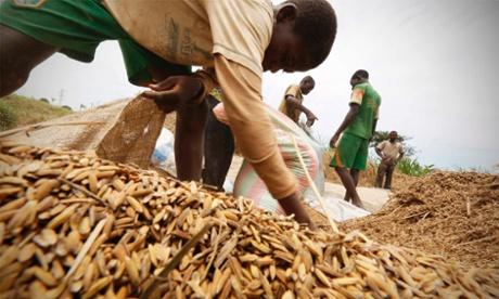 Men harvest rice in Nanan, Yamoussoukro, Ivory Coast