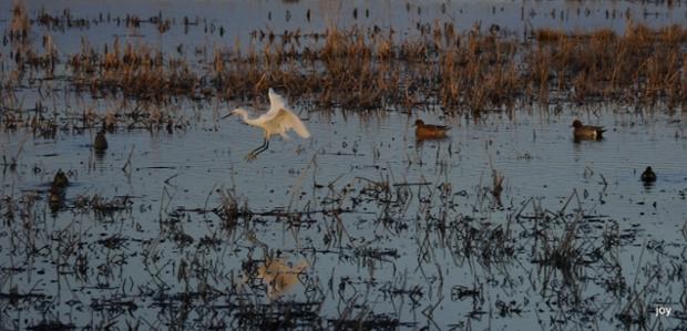 Little Egret~Egretta garzetta