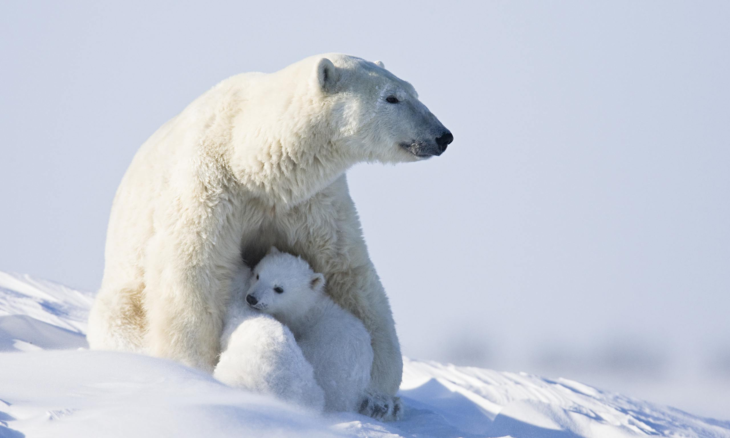 Fewer Polar Bear Cubs Are Being Born In The Arctic Islands