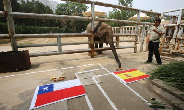 Four-year-old Asian elephant Yalu, reaches for the food in front of a Spanish national flag as it takes part in a World Cup match prediction event at a zoo in Jinan, Shandong province, China.  Yalu got it wrong as Chile beat Spain 2-0 to send the defending champions crashing out of the tournament.