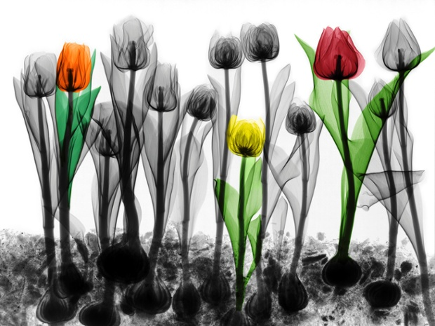 Coloured X-ray of tulips.