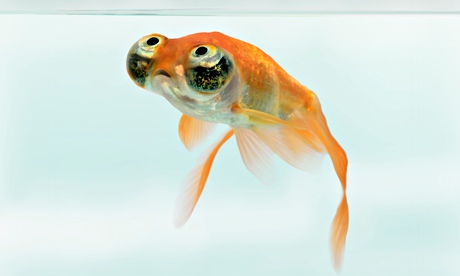 goldfish common carp celestial