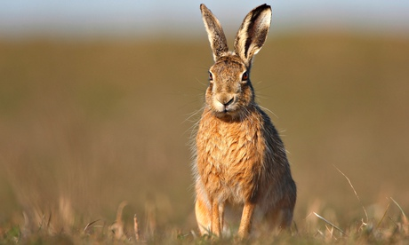 Hare-coursing, which is illegal in the UK, can generate thousands for criminal gangs.