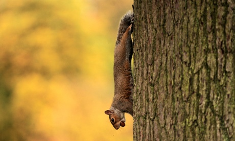 A squirrel carries an acorn down the trunk of a tree