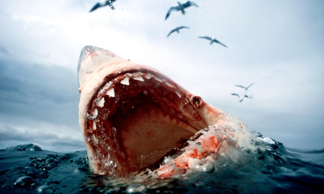 Great White Shark Carcharodon carcharias Water level view in South Africa