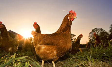 Chicken Pictures