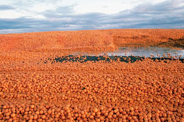 Surplus oranges in California, USA