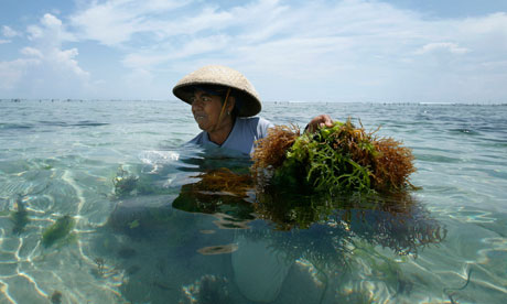 seaweed harvesting in Bali