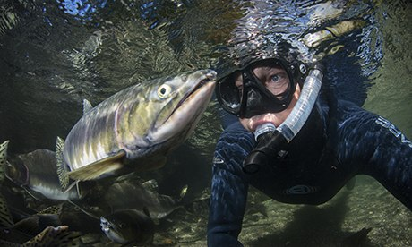 Snorkeller and Pink Salmon, in a river in British Columbia, Canada