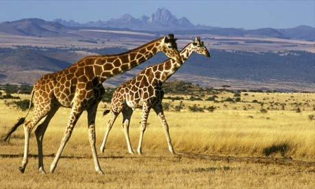 two giraffes running
