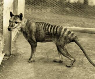 Le tigre de Tasmanie : l'animal fantôme