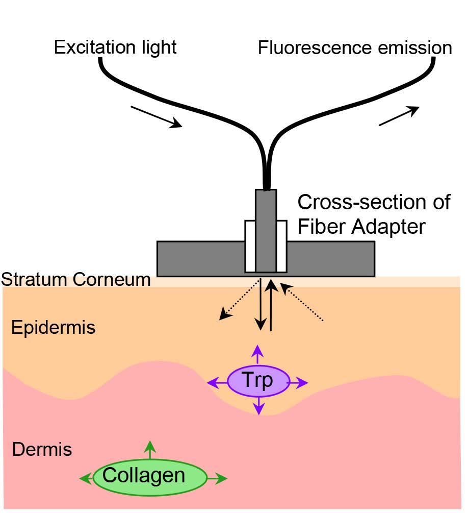 medium resolution of endogenous skin fluorescence in vivo on human skin