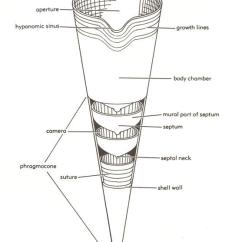 Mollusca Diagram Labeled Two Way Light Switch Wiring Phylum Geologic Overview Of The Trenton Group An Orthoconic Nautiloid Septa Are Spaced Widely In Anterior Phragmacone To Show Thier Shape