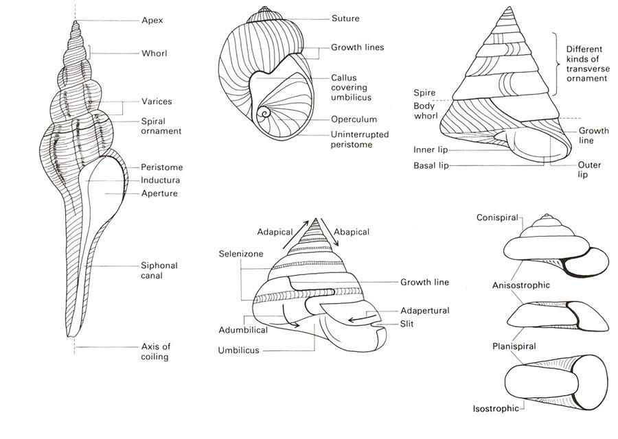 mollusca diagram labeled coleman rv ac wiring phylum geologic overview of the trenton group on image below are many important morphologic traits a gastropod shell note some features these shells not present