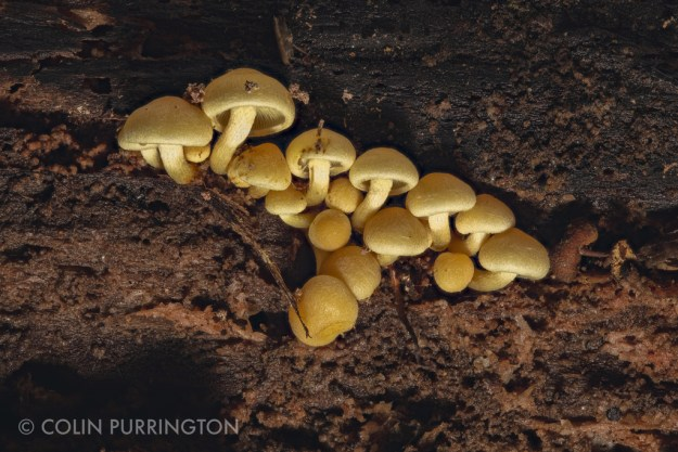 Sulphur tufts (Hypholoma fasciculare) on log