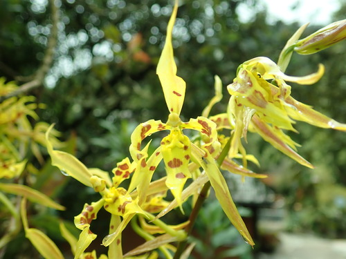 Cyrtochilum with yellow flakes and brown dotting in Ecuador.