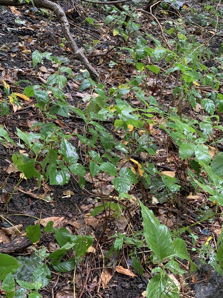 poison ivy from Manhattan New York NY US on October 09 ...