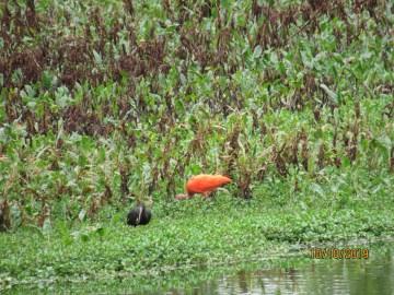 Ibis escarlata e ibis cara roja
