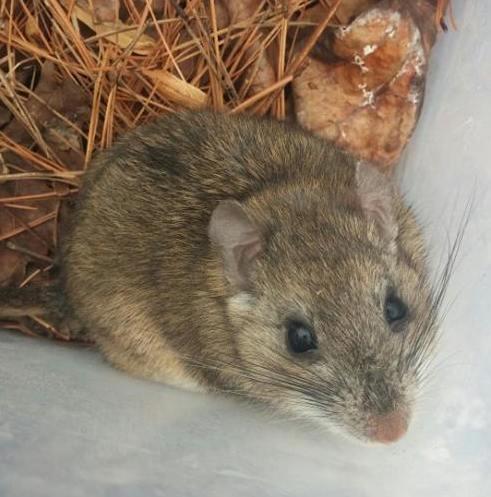 Rodents Of Missouri