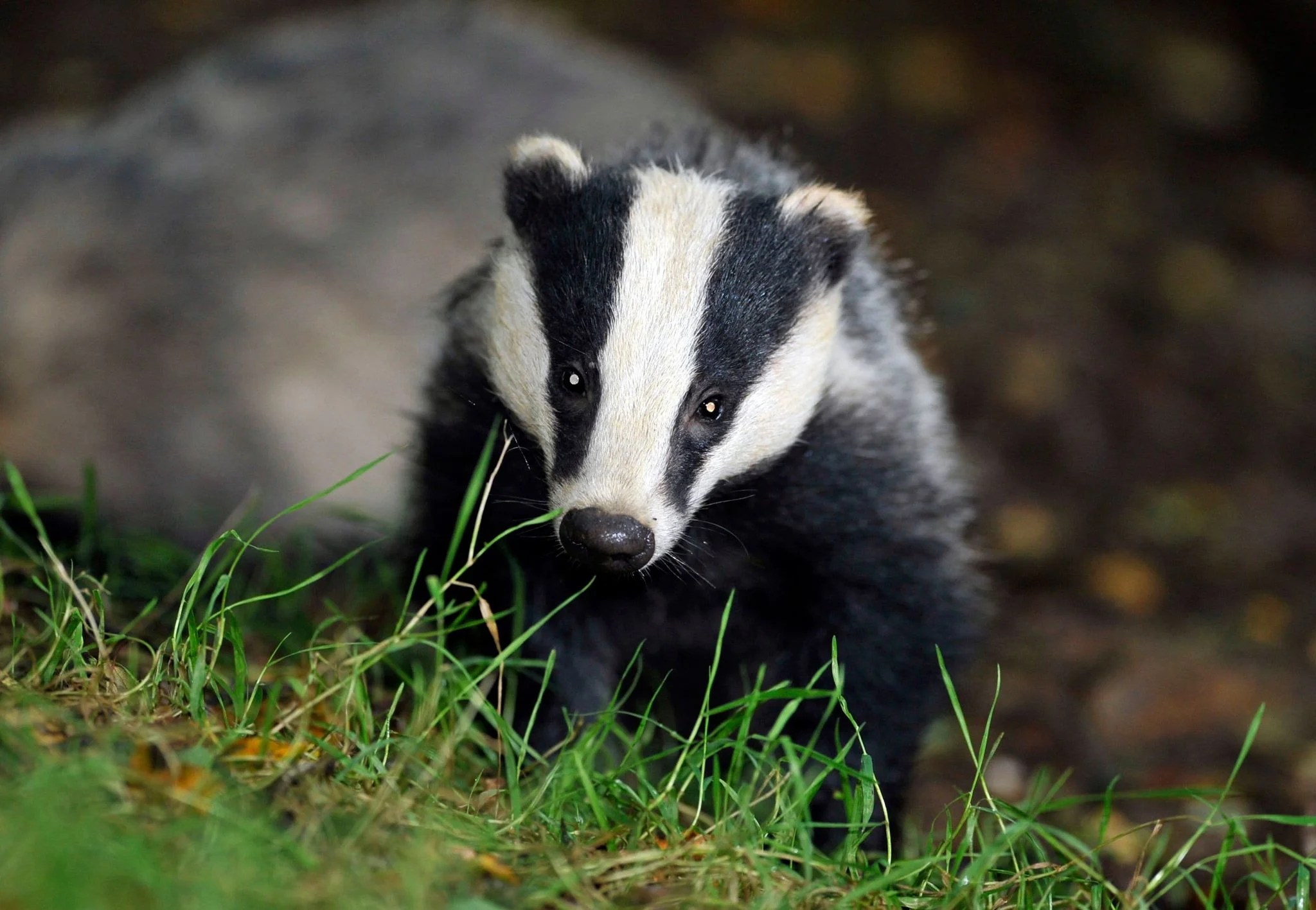 Lessons learned from Covid-19 must spell the end of the badger cull