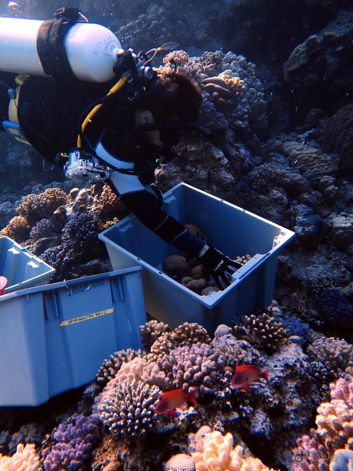 <p>Researchers collecting coral to study in labs</p>