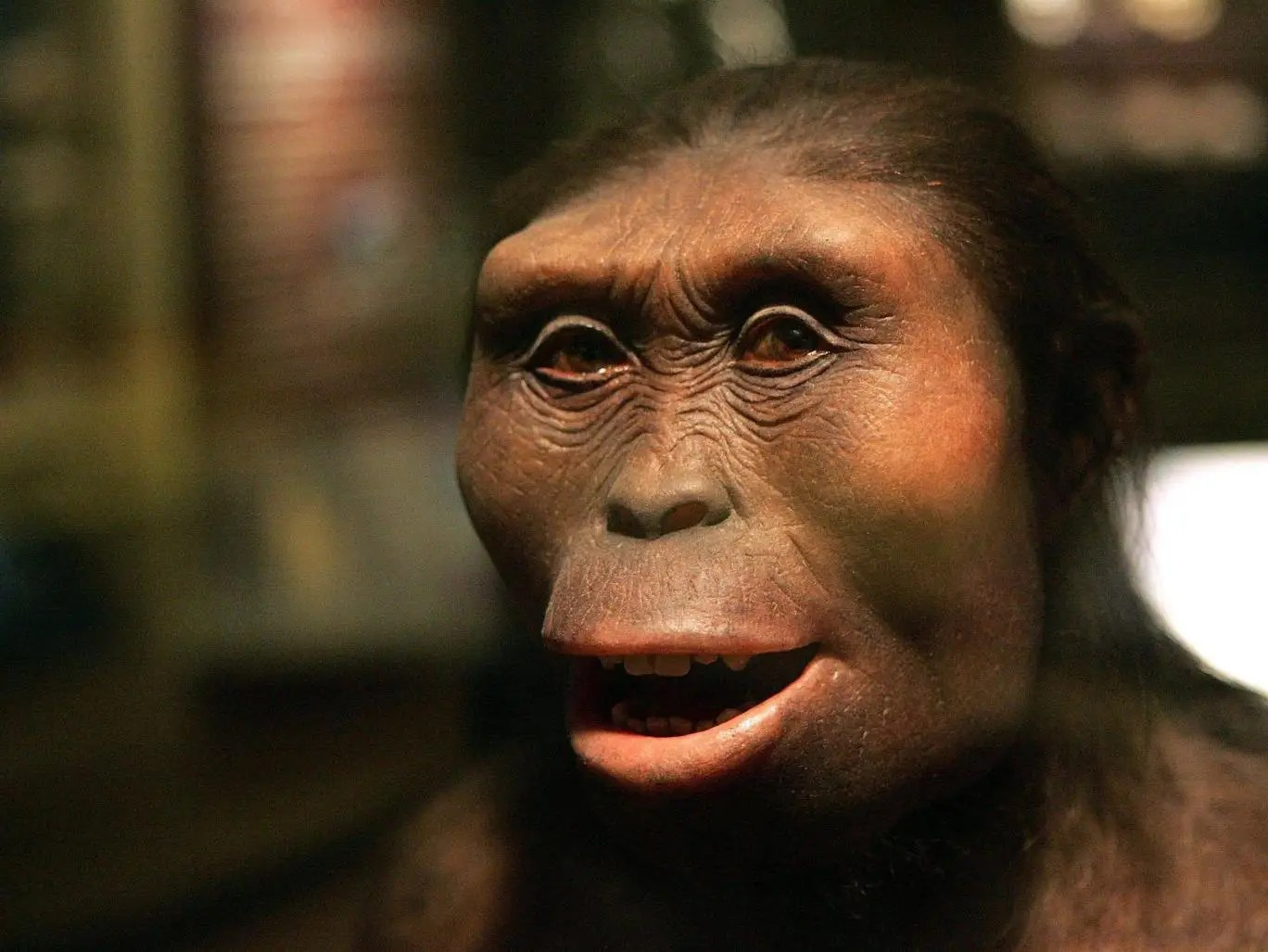 A model of Lucy the Australopithecus at the Field Museum in Chicago