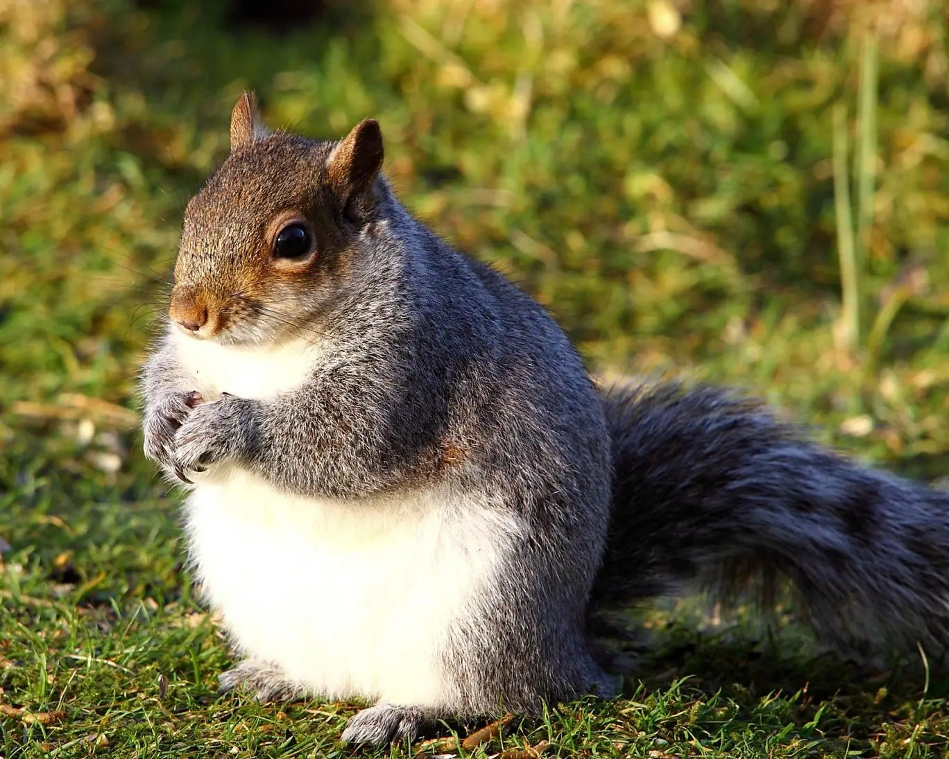 A fat squirrel