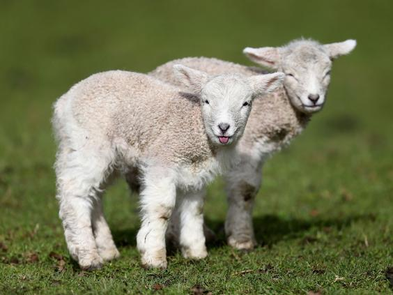 lambs_RF_Getty.jpg