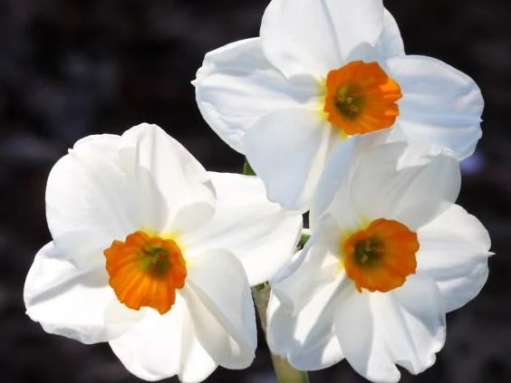 narcissus-wikipedia-commons.jpg