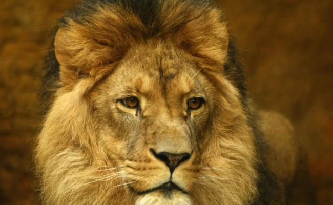 Study Shows Lion Population Plummeting As Habitat