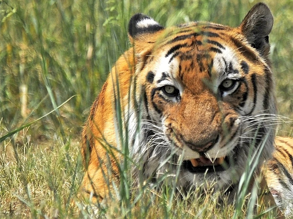 indian tigers face extinction