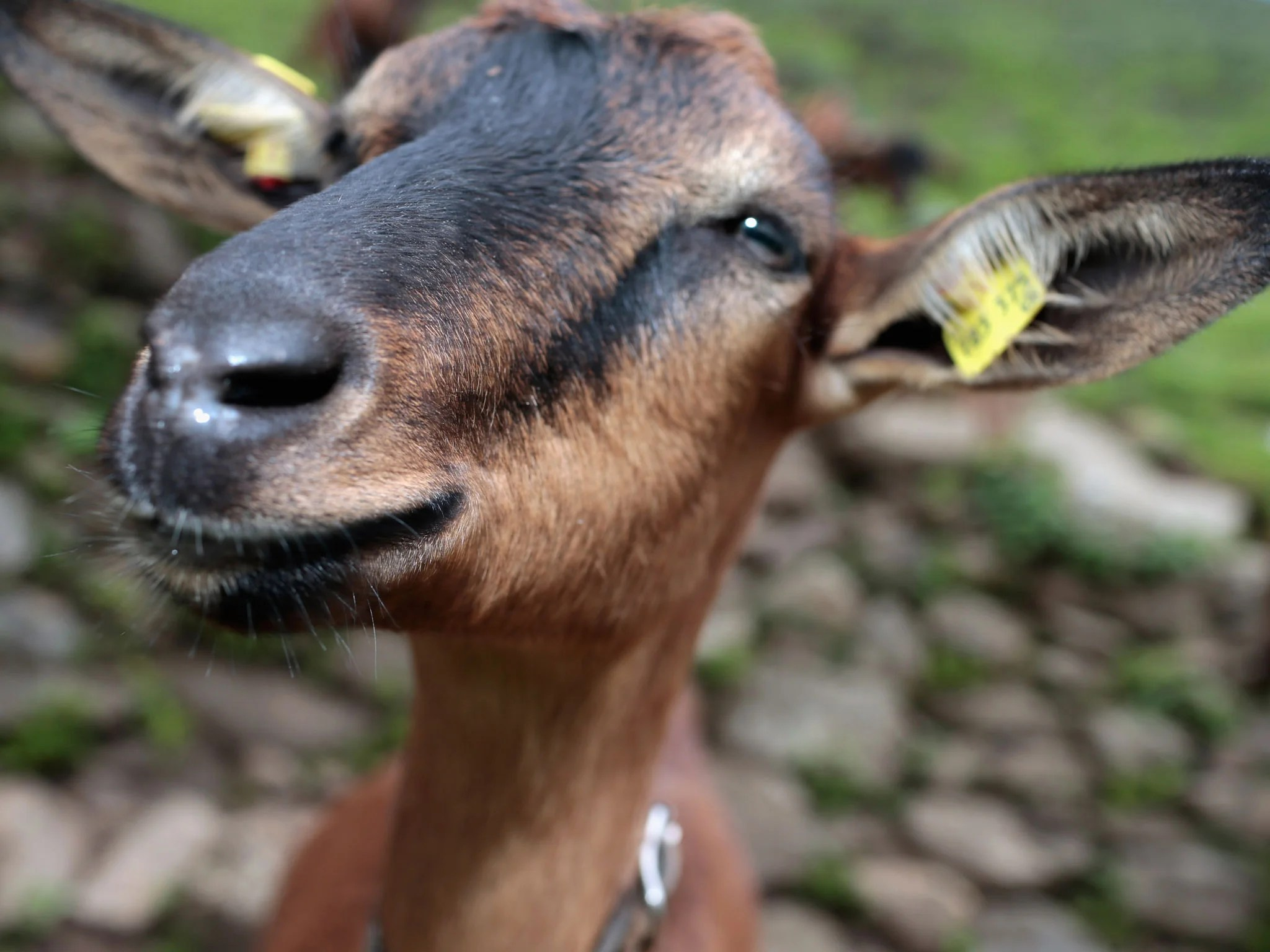 Nigerian Man Arrested For Having With A Goat Claims He Asked For Permission