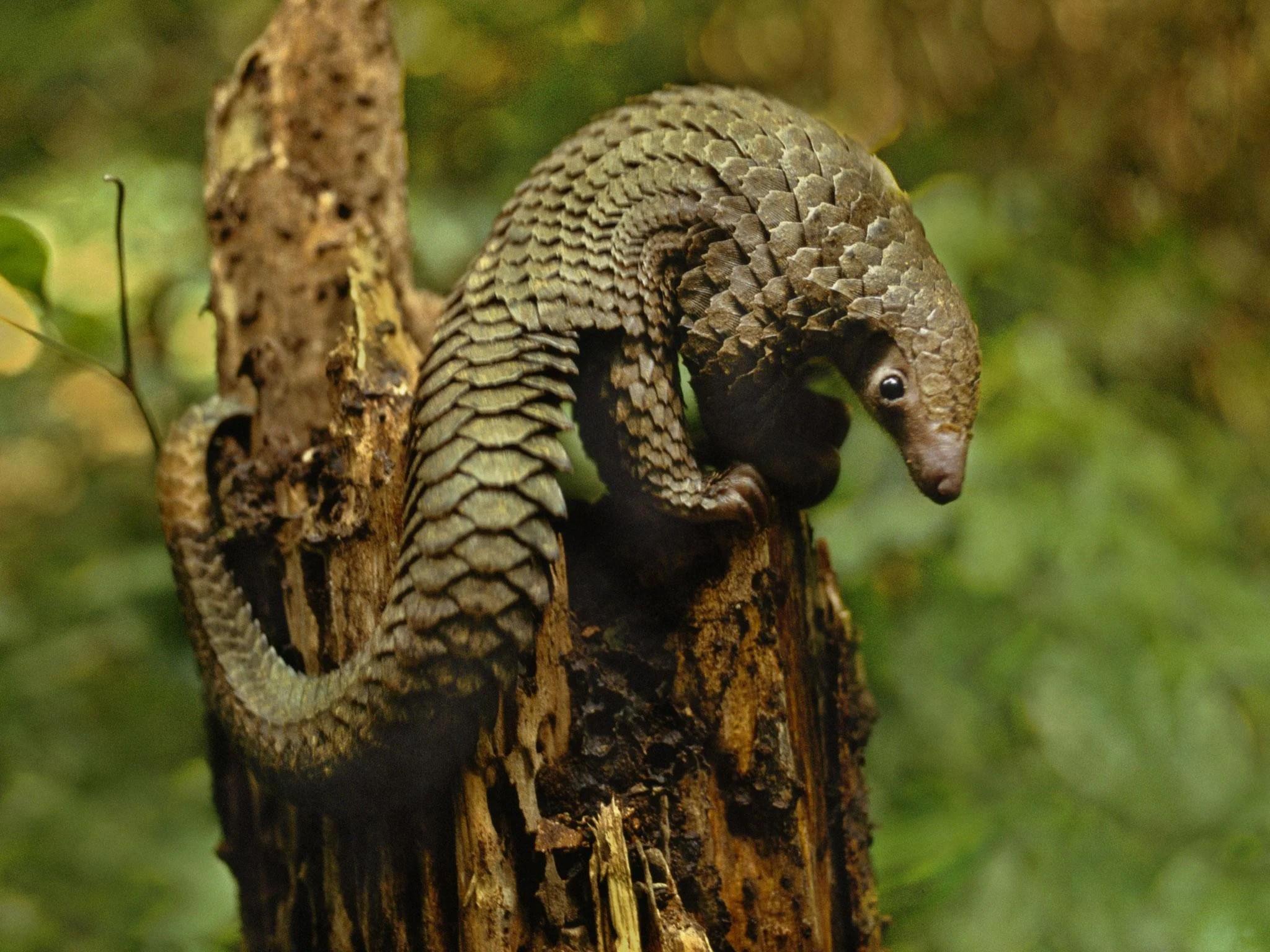pangolins world conservation day
