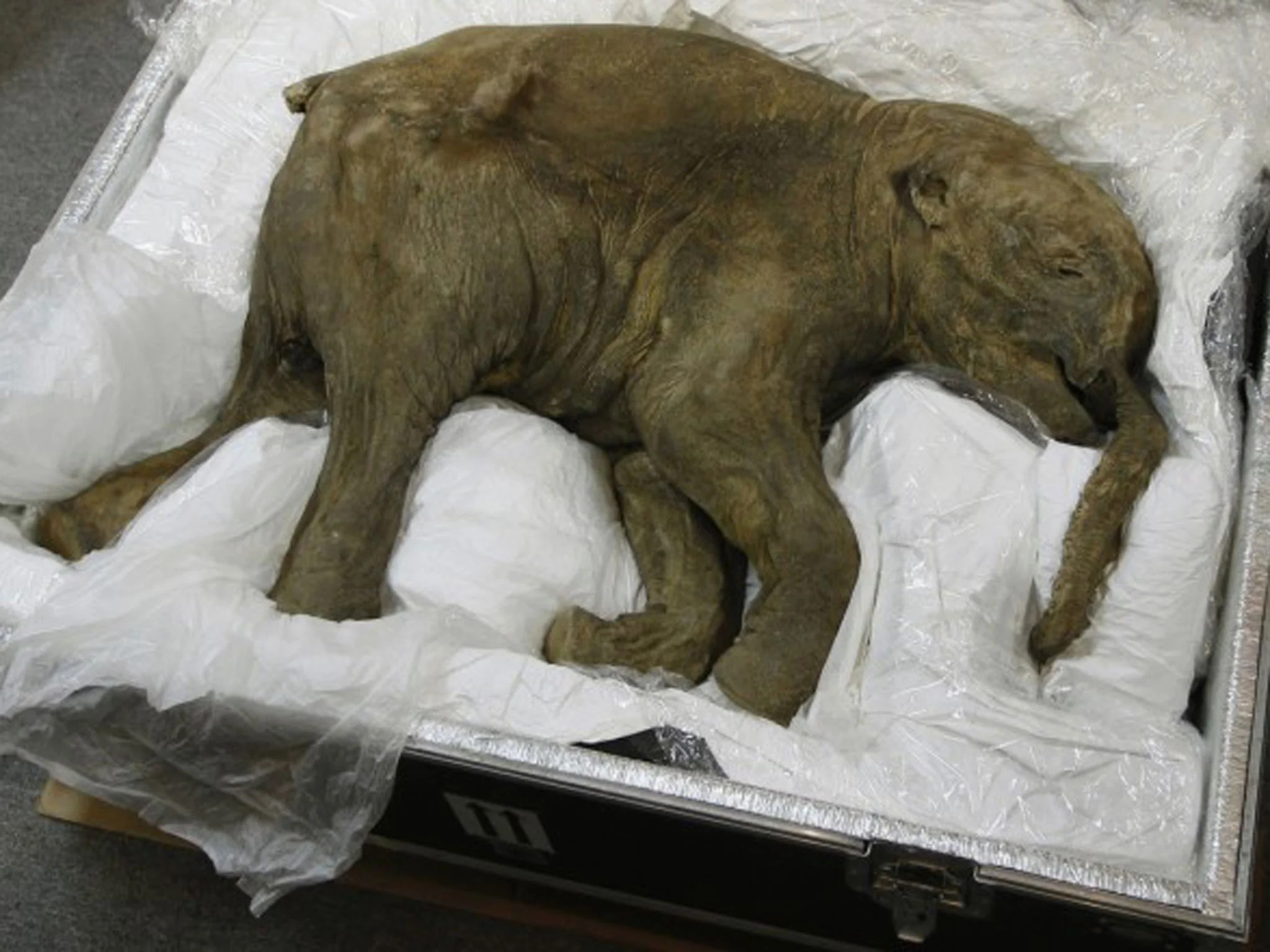 Worlds most complete preserved mammoth to go on display in London  The Independent