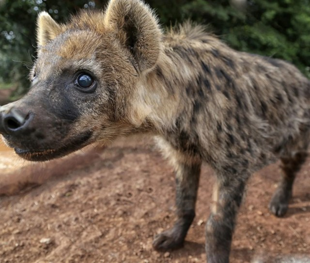 Hyenas Have Been Maligned For Millennia From The Days Of Antiquity When They Were Despised As Grave Robbers