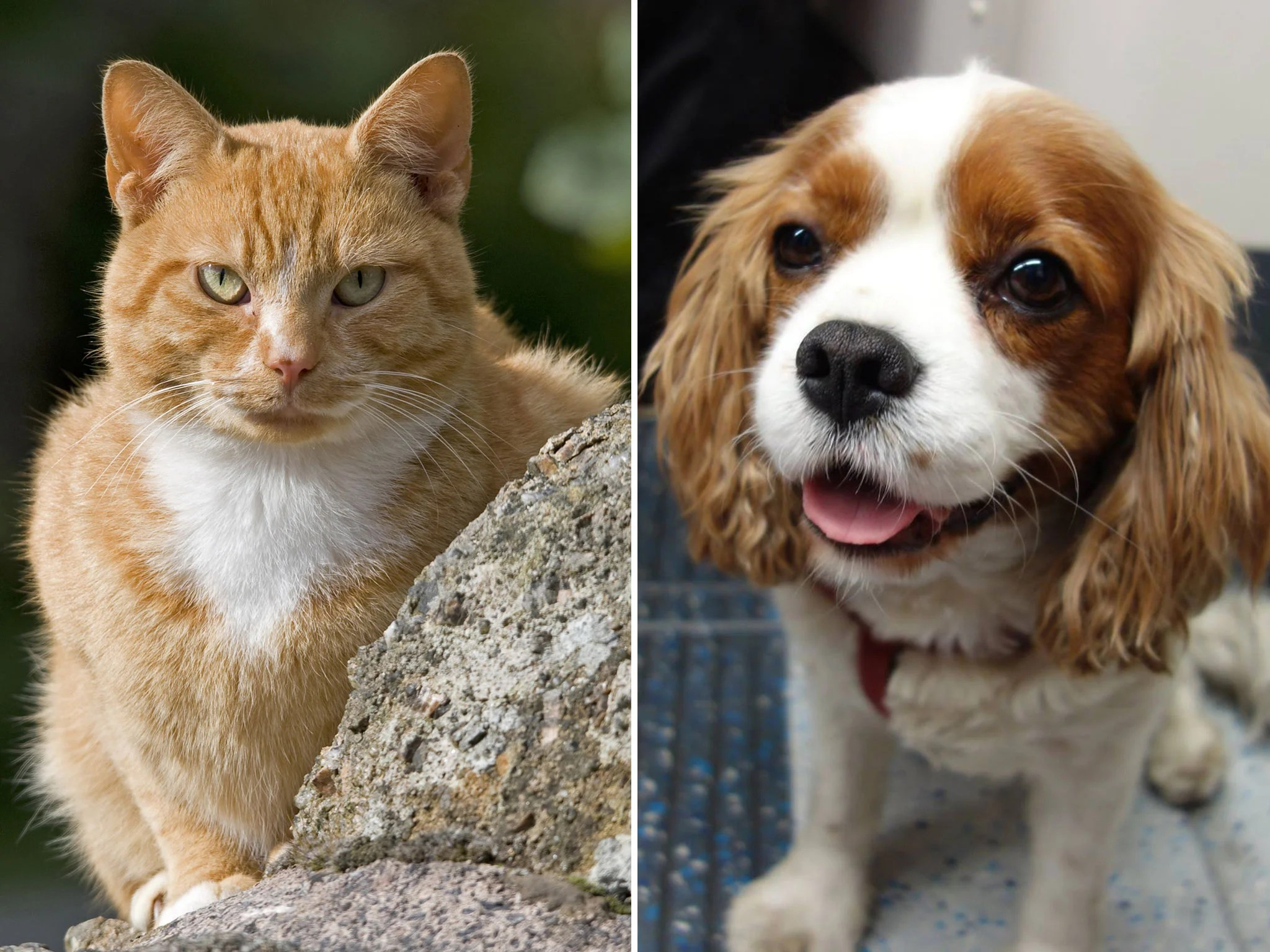 Cats Vs Dogs Scientists Confirm That Felines Are Better From An Evolutionary Perspective The Independent The Independent