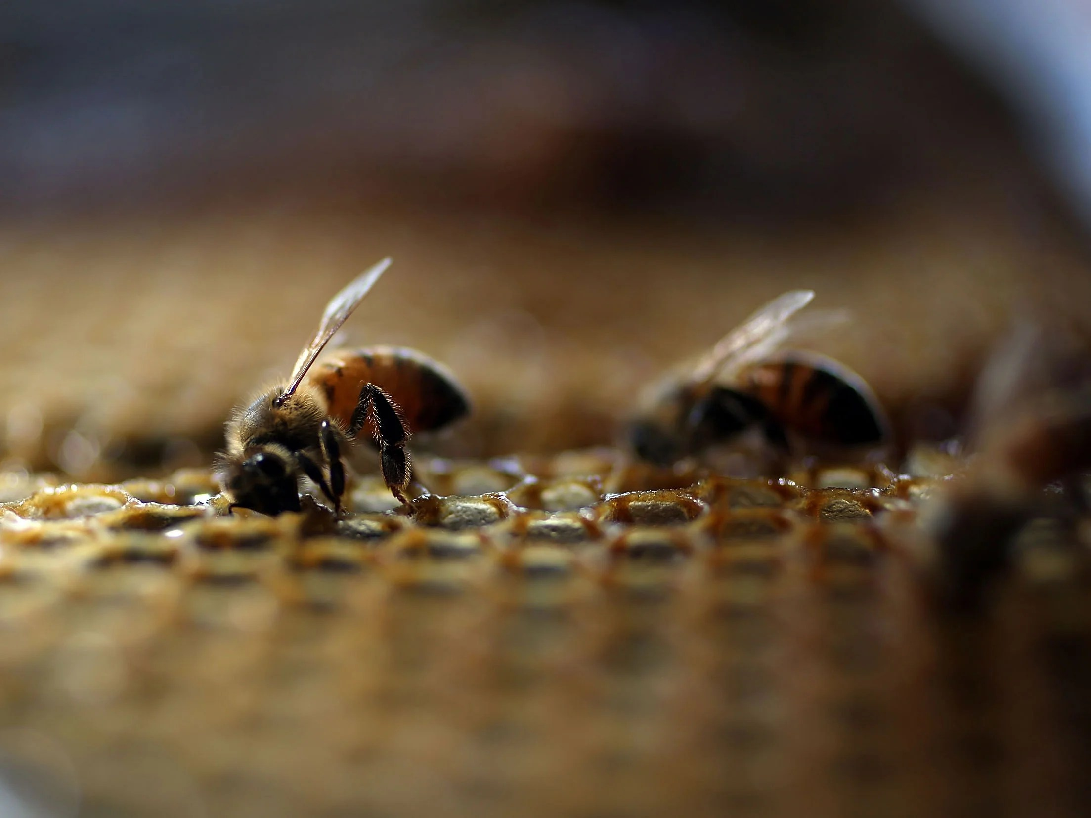 honey bees are being