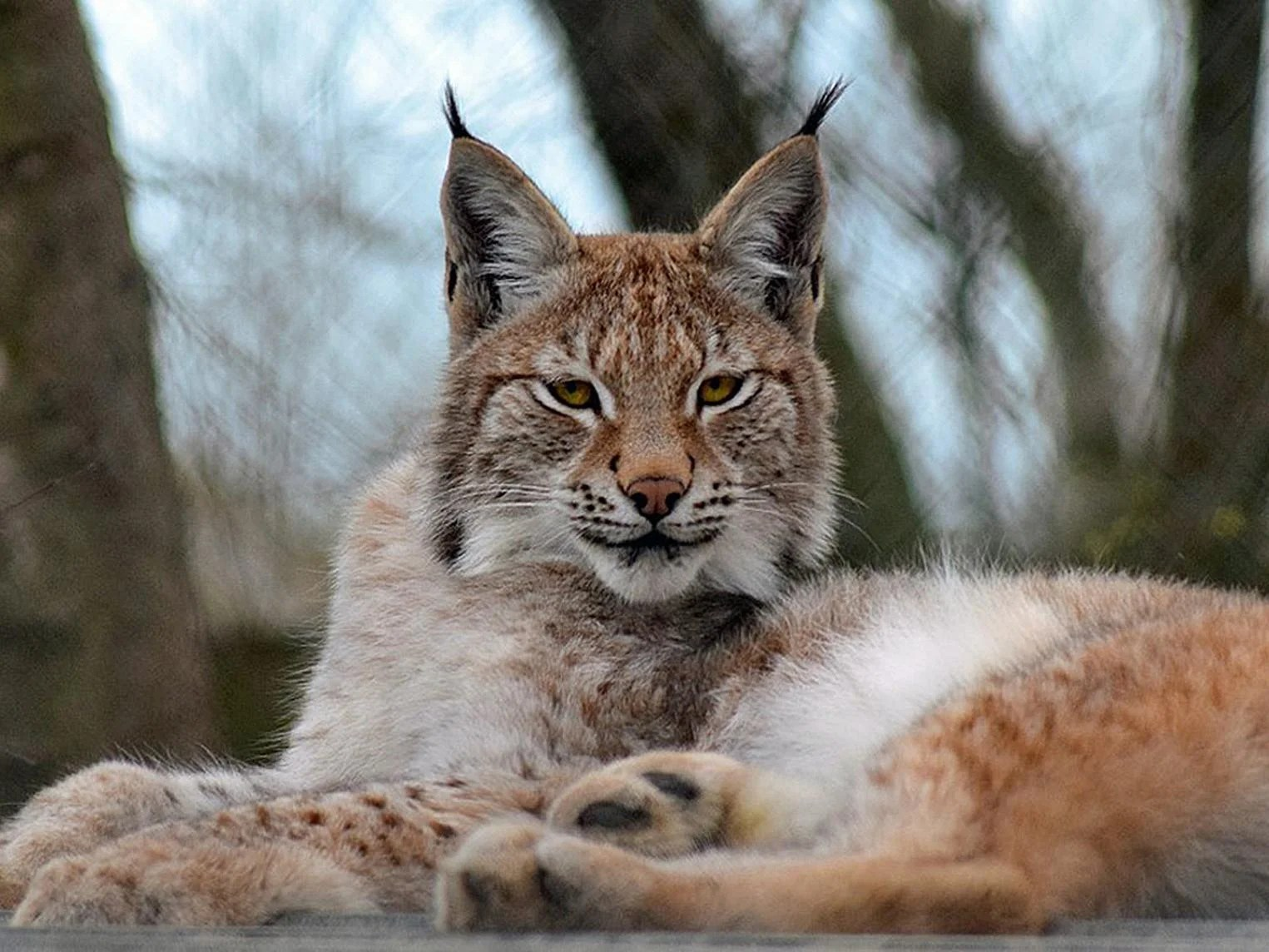 Cute Animal Soccer Wallpaper Pictures Wild Lynx On The Loose In Wales After Escaping From Zoo