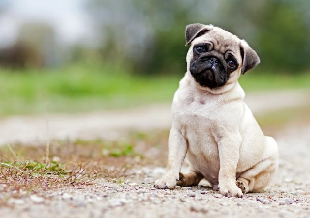 Image result for pug