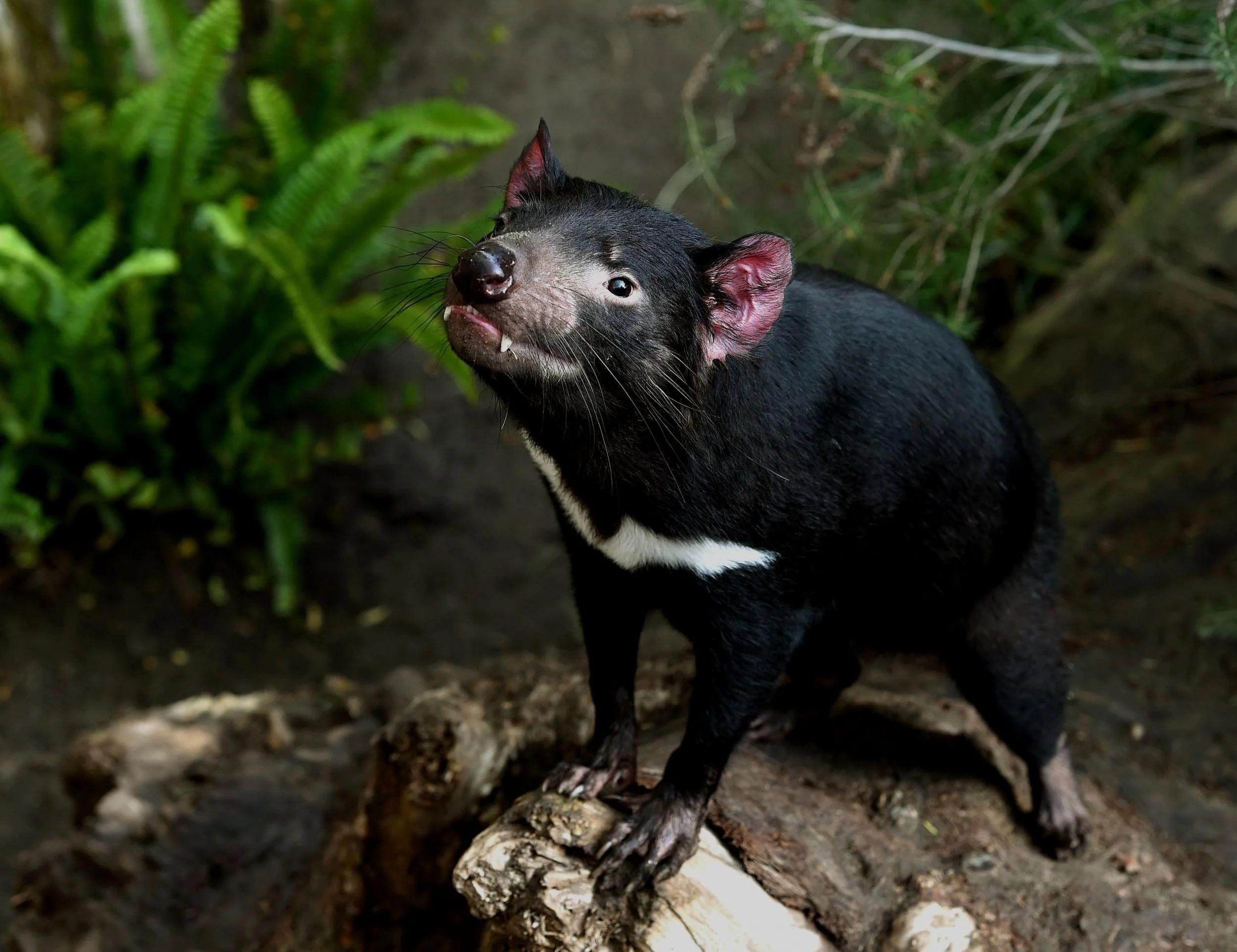 healthy tasmanian devils found