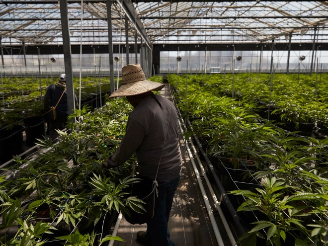 Workers in a greenhouse growing cannabis plants in California