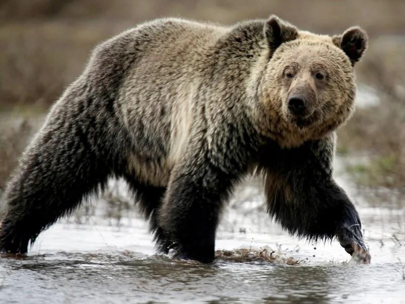 bear kills sleeping man