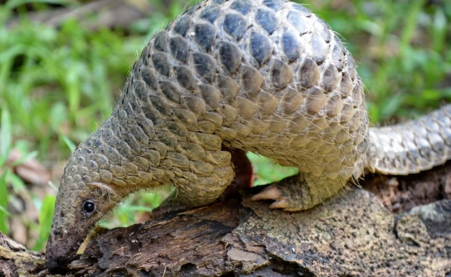 Pangolins Could Be Wiped Out In China As Habitat Slashed
