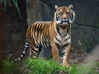 Latest analysis confirms six living species of tiger, with three additional species lost to extinction since 1930s