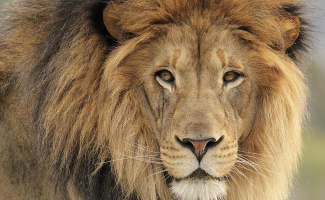 Lion Kills Zoo Worker And Is Shot Dead As Tranquilliser