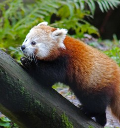 red panda escape endangered animal found after escaping from belfast zoo the independent [ 2048 x 1536 Pixel ]