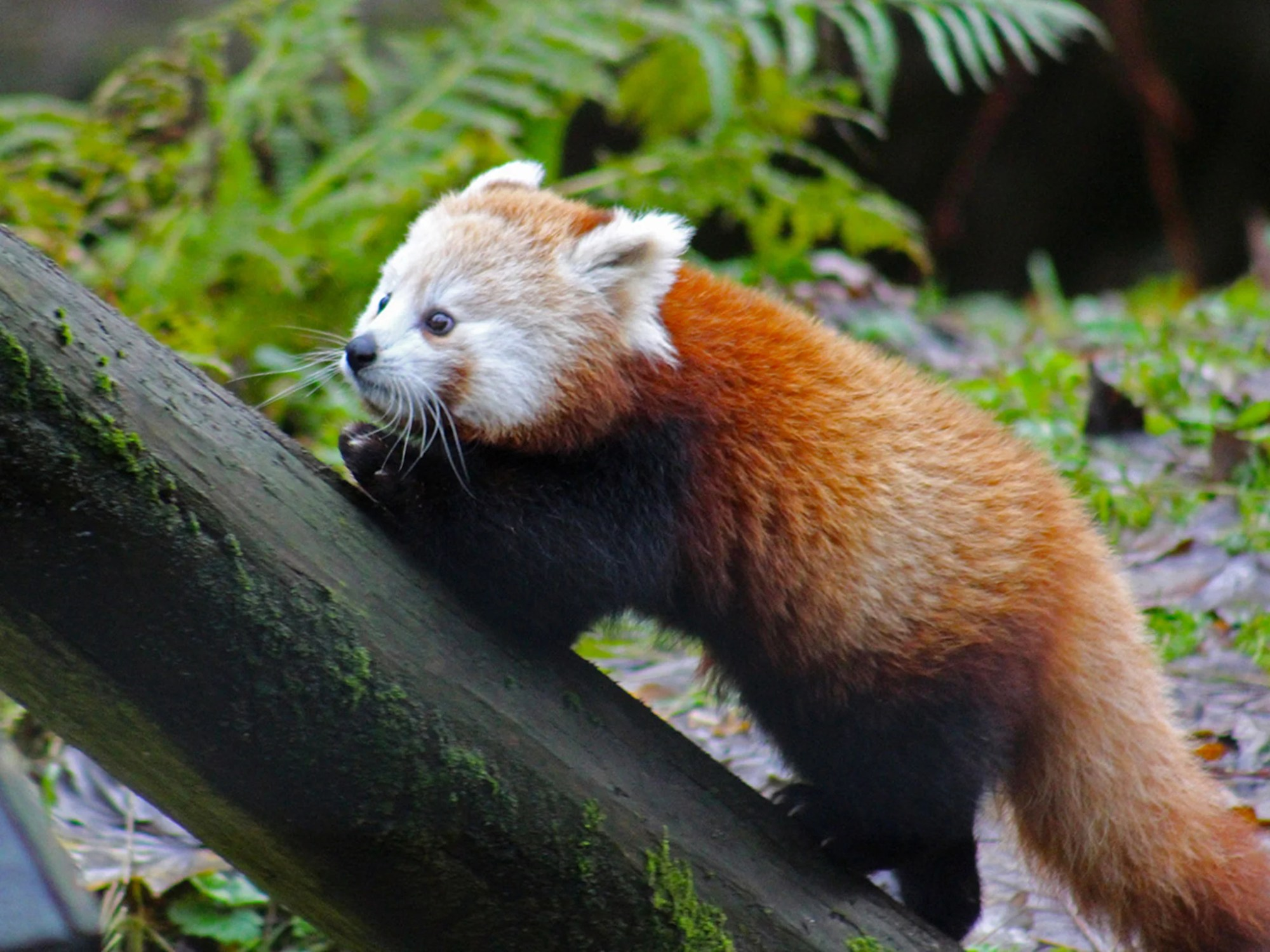 hight resolution of red panda escape endangered animal found after escaping from belfast zoo the independent
