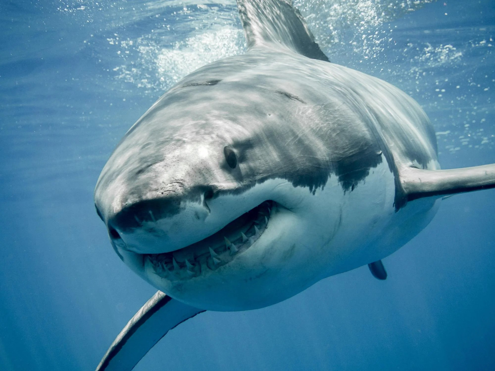 Great White Sharks Surviving With Toxic Levels Of Mercury