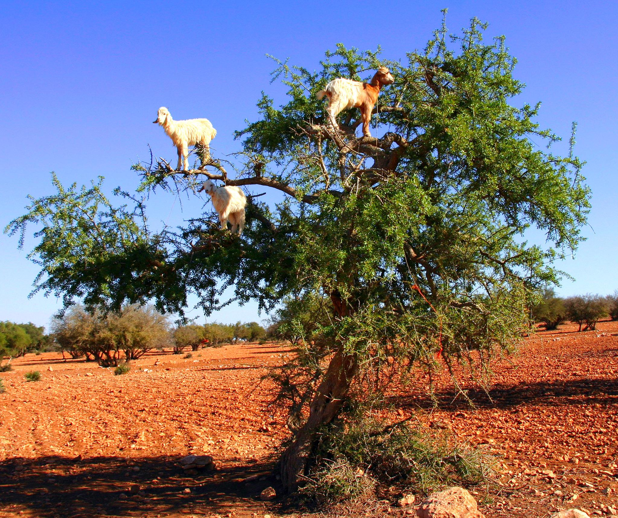 tree climbing goats forced
